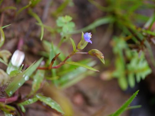 annual commelinaceae endemic herb spiderwortfamily dayflowerfamily cyanotisfasciculata bandedcatears nilwanti