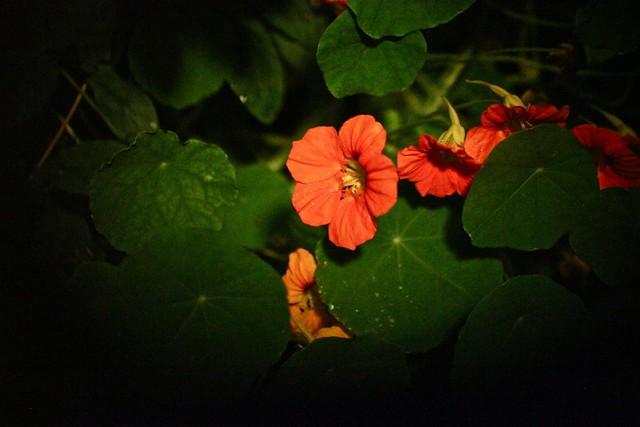 kukkaishemuliili