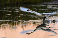 Swan Take-off_1180.jpg by Mully410 * Images