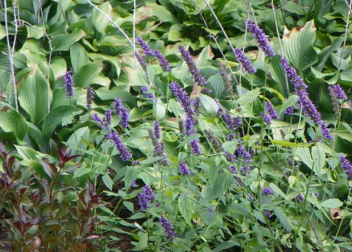 Black Adder Agastache and Hosta Krossa Regal