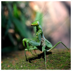 Mante religieuse - Praying mantis