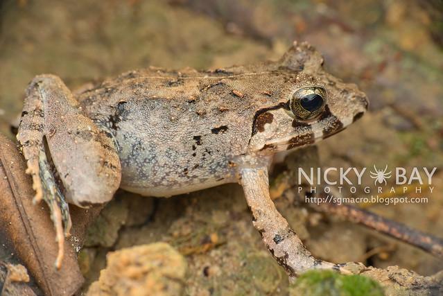 Malesian Frog (Limnonectes malesianus) - DSC_5212