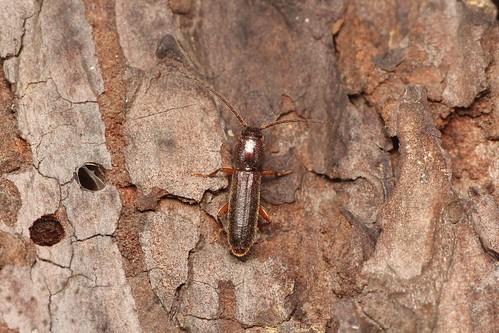 Nothorhina punctata (ケブカヒラタカミキリ)