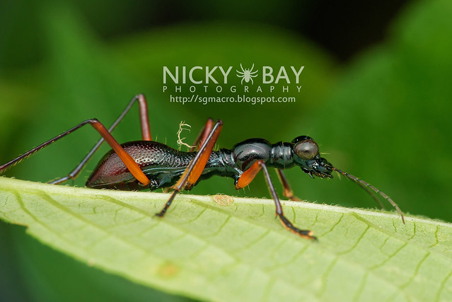 Flightless Tiger Beetle (Tricondyla sp.) - DSC_3083