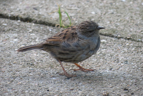 Dunnock Head Cock