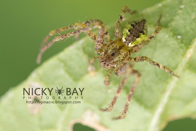 Orb Weaver Spider (Araneidae) - DSC_5679