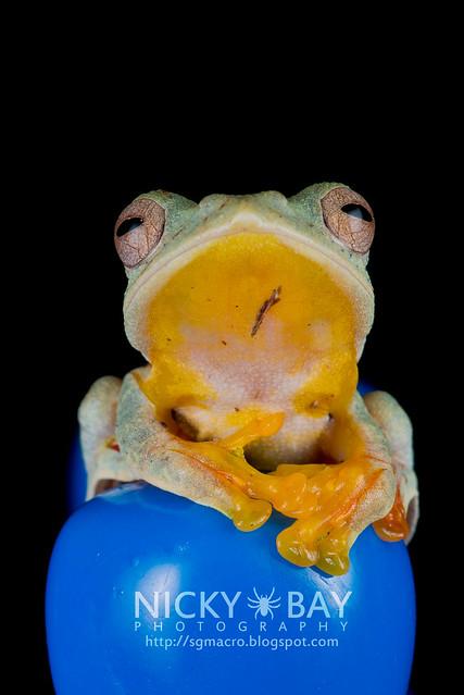 Twin-spotted Flying Frog (Rhacophorus bipunctatus) - DSC_5415