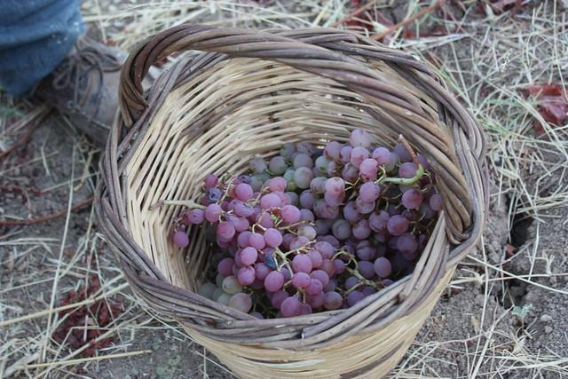 Vine harvest - Atalanti, Greece