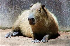 wildlife(0.0), animal(1.0), rodent(1.0), fauna(1.0), capybara(1.0), whiskers(1.0),