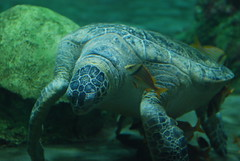Sea Turtles @ Sea World