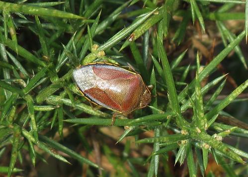 Gorse Shieldbug - Piezodorus lituratus