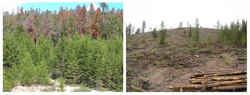 Saphhire Point above the Lake Dillon watershed in Summit County on the White River National Forest, Dillon Ranger District.   The left photo illustrates what the area looked like before treatment (heavy beetle kill). On the right is the area after treatment,  which will help prevent watershed damage in the advent of a fire.
