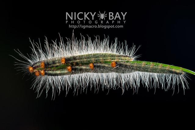 Caterpillars - DSC_8985
