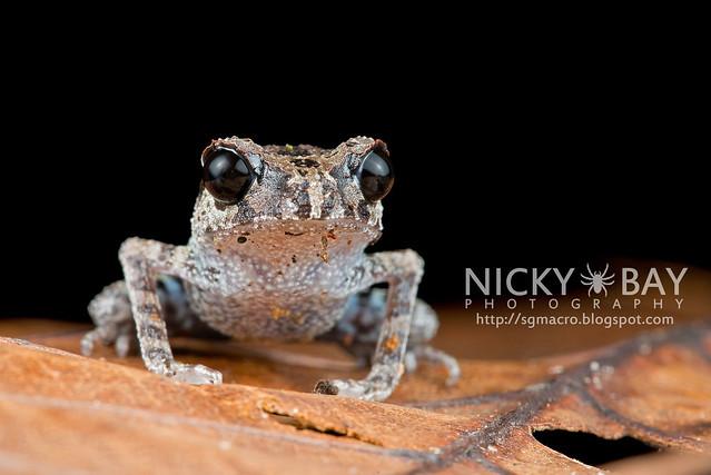 Black-eyed Litter Frog (Leptobrachium nigrops) - DSC_8593