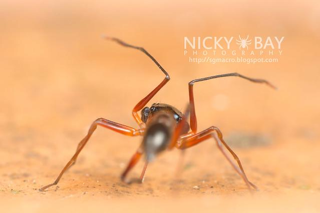 Kerrengga Ant-Like Jumper (Myrmarachne plataleoides) - DSC_8542