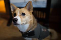 dog breed(1.0), animal(1.0), dog(1.0), shiba inu(1.0), pet(1.0), pembroke welsh corgi(1.0), norwegian lundehund(1.0), carnivoran(1.0), welsh corgi(1.0),
