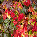 Virginia creeper shows its full range of autumn colours (October 1st)