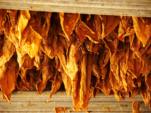 Drying Tobacco Leaf, Cigar Factory, Breña Alta, La Palma