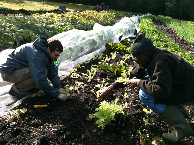 Stef and Michael planting out winter salads
