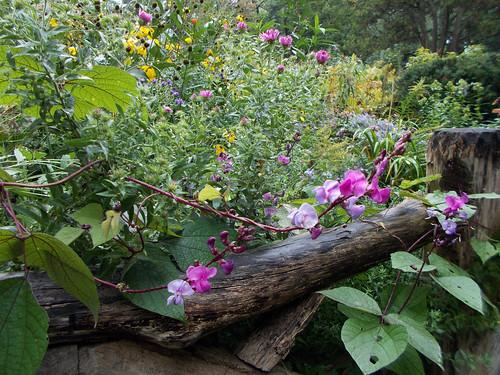 Hyacinth Bean - Lablab purpureus (Dolichos Lablab)