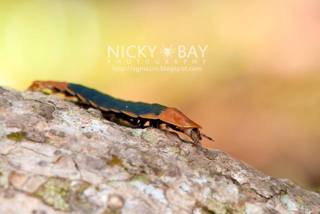 Firefly larva (Lampyridae) - DSC_5813