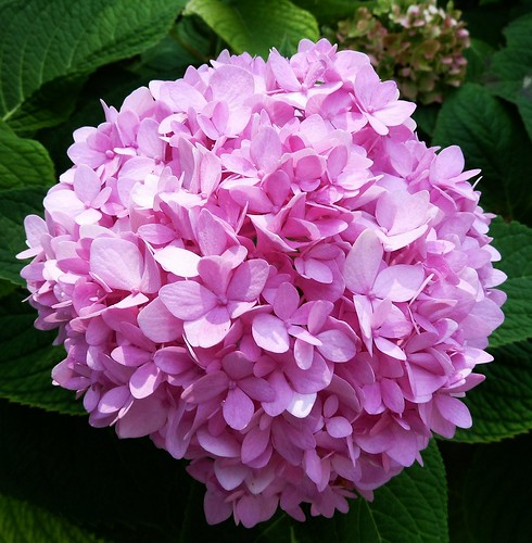 Chicago, Ravenswood, Pink Hydrangea by lalobamfw
