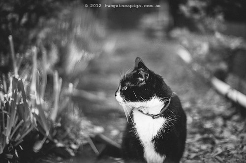 Rambo the Cat by twoguineapigs Pet Photography [3]