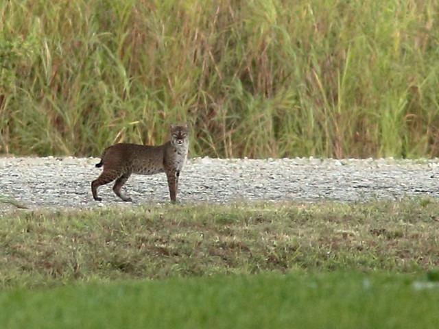 Bobcat 2-20121005