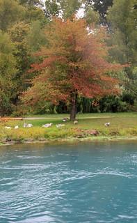 Geese Under Tree