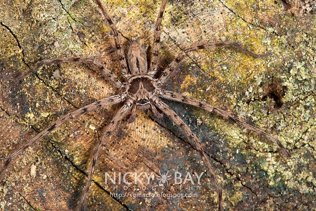Huntsman Spider (Sparassidae) - DSC_2747