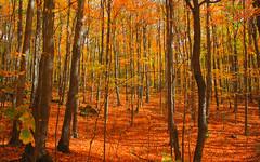[フリー画像素材] 自然風景, 森林, 樹木, 紅葉・黄葉 ID:201210111200