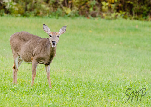 Deer in the Headlights Minus the Headlights by UpstateNYPhototaker
