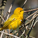 IMG_8023  Yellow Warbler