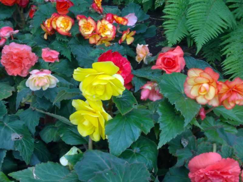 Begonias de distintos colores
