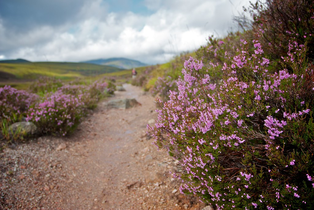 Heather in the Cairngorms