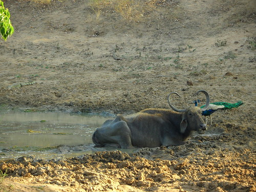 Water buffalo and peacock at a watering hole in Yala, Sri Lanka
