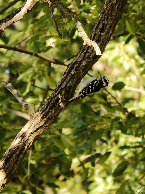 Hairy Woodpecker 20120908