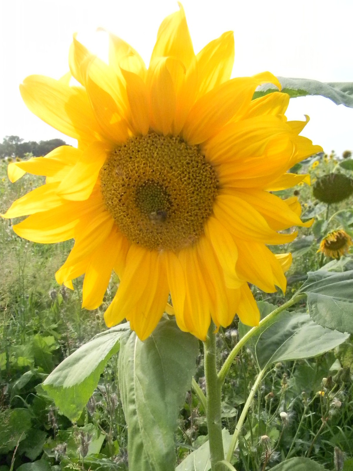 Sunflower Chesham to Great Missenden
