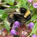 Bombus jonellus (Heath Bumblebee)