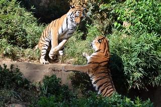 Image of トラ near Hino. 多摩動物公園 アムールトラ