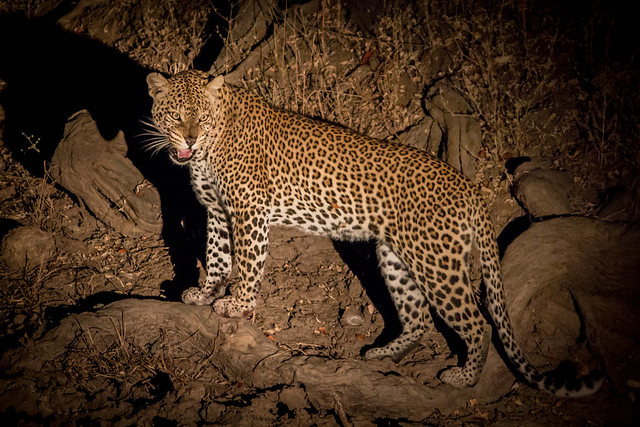 Wild Leopard at Night - South Luangwa, Zambia