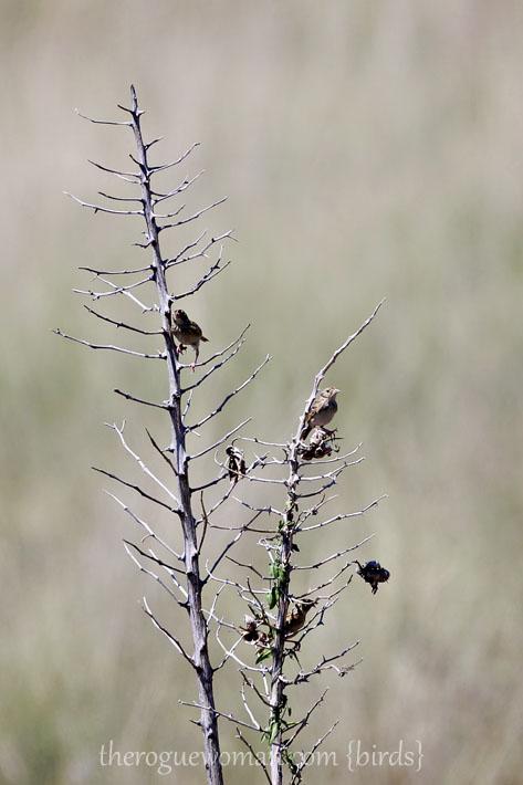 090212_04_bird_pass_grasshopperSparrow