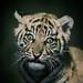 Tiger Cub 004 by Brookshaw Photography