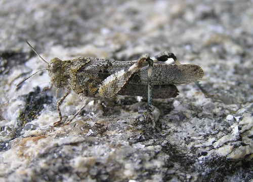 Oedipoda caerulescens - Blue-winged grasshopper - Oedipode bleu ou Criquet à ailes bleues - 17/09/12