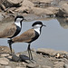 Spur-winged Plovers (Tim Melling)