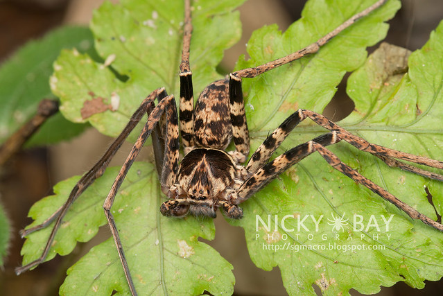 Huntsman Spider (Sparassidae) - DSC_2745