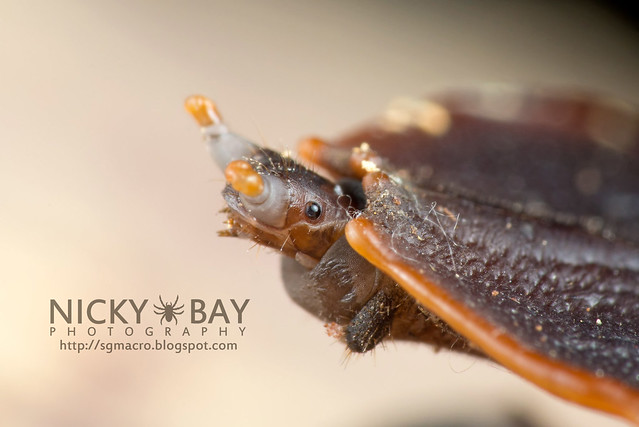 Trilobite Beetle (Platerodrilus ruficollis) - DSC_1728