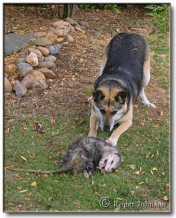 Roma Trying To Play With A Possum That's Playing Possum