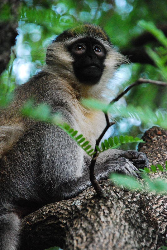 Morning Vervet Monkey