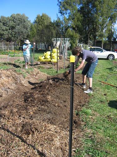 Peas being sown: Spring 2012
